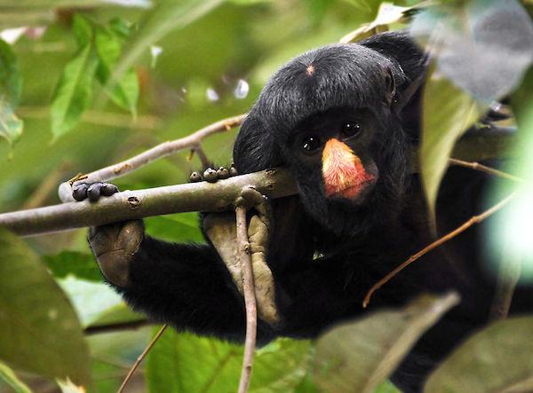 Red-nosed Saki monkey