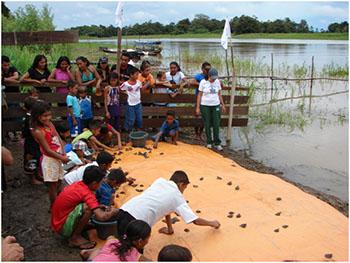 Pessoas soltando filhotes de quelônios ( uma especie de tartaruga da Amazônia ) no rio