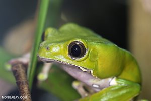The Giant Monkey Frog. Photo: Rhett A. Butler/Mongabay