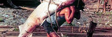 The-giant-Amazonian-catfish