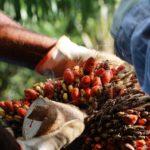Os frutos do dendê, ou palma africana. Foto de Ronaldo Rosa/Embrapa
