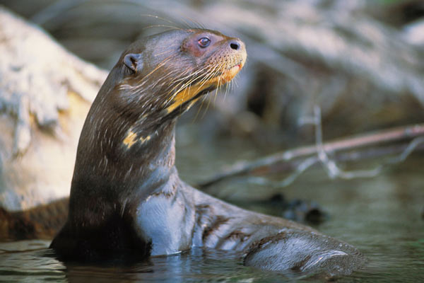 Giant Otter in the River