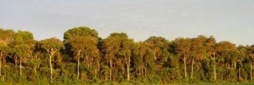 trees in the Amazon